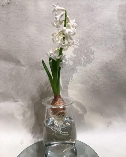 春の人気の球根のお花たち入荷してます‼︎