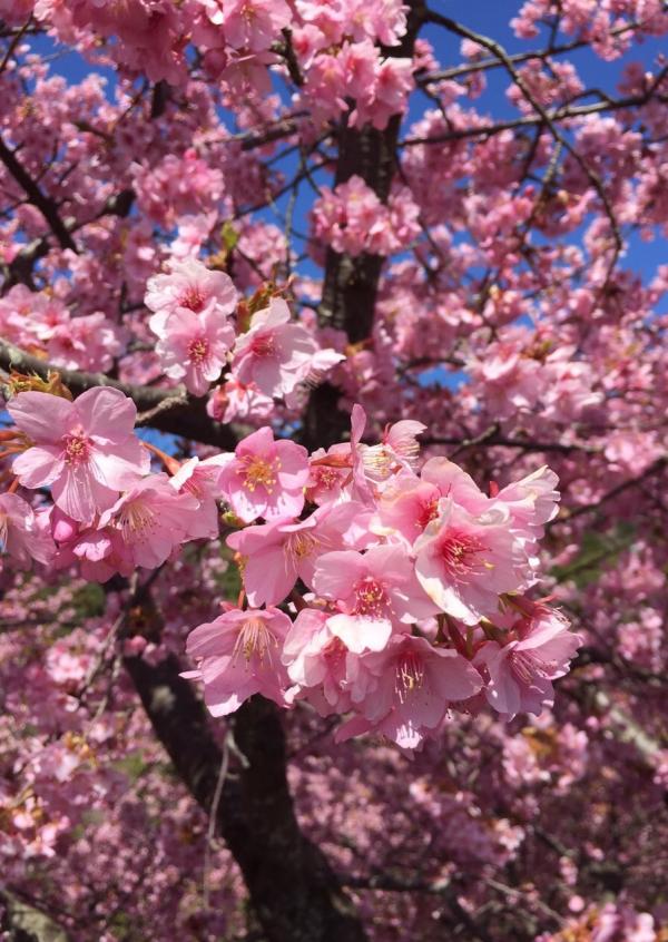 ★早春の旅は河津桜★