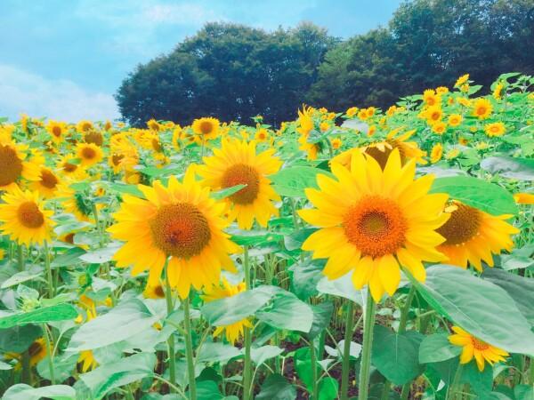 ★夏の高原へ!たんばらラベンダーパーク★